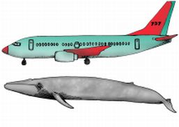 Blue whale and a 737
