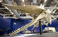 Sperm whale skeletons during installation