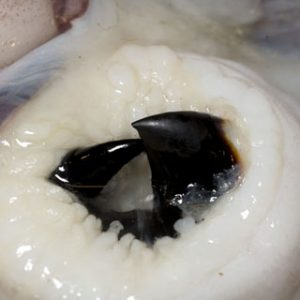 Beak of Colossal Squid