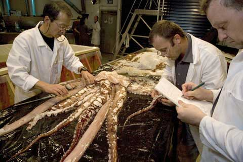 Smaller, damaged colossal squid