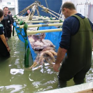 The team move the squid into the cradle, © Copyright Museum of New Zealand Te Papa Tongarewa, 2008