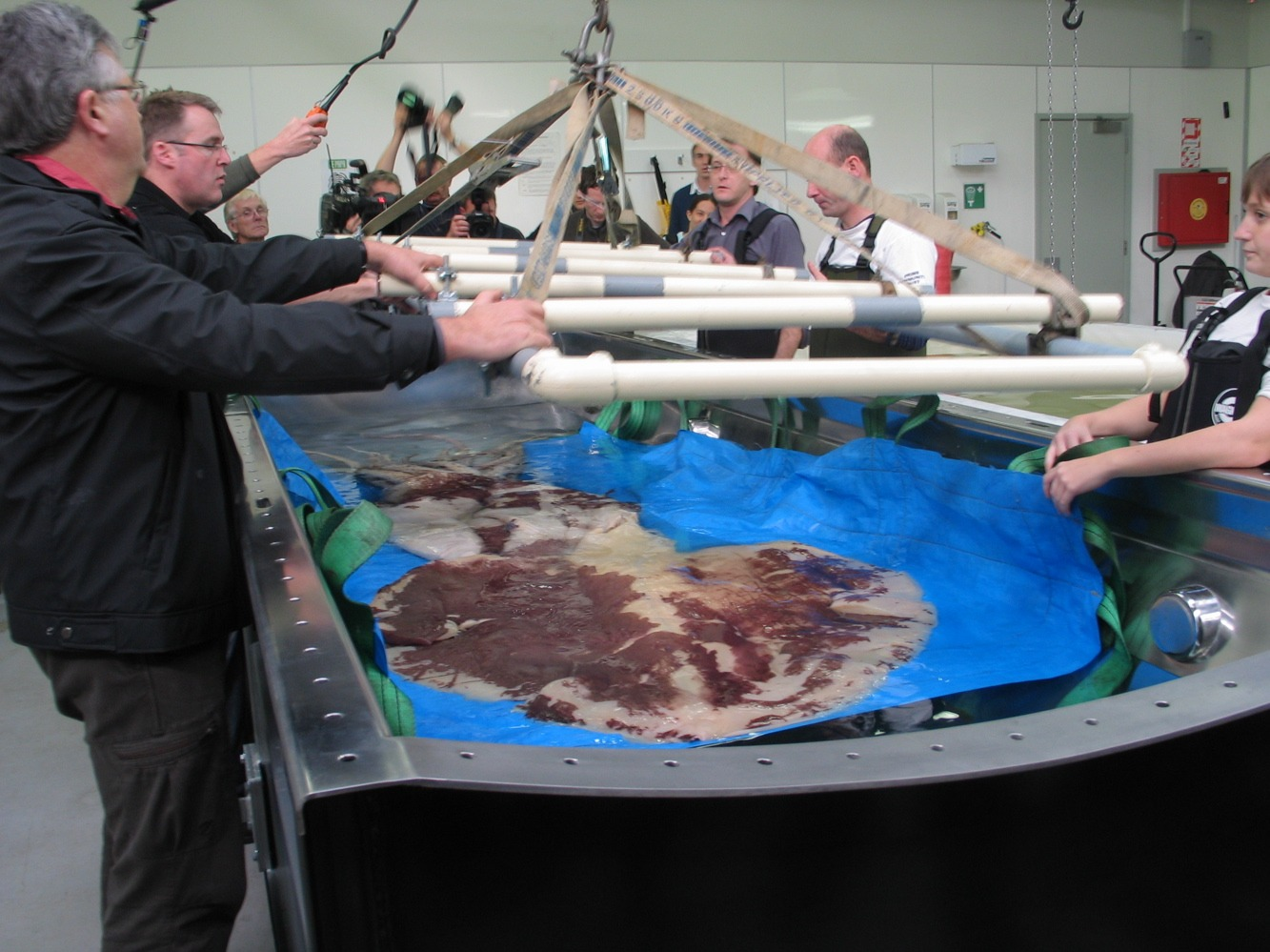 The team loading the squid into the tank © Copyright Museum of New Zealand Te Papa Tongarewa, 2008