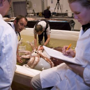 Measuring the colossal squid.   Image Copyright Te Papa