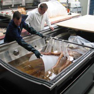 Mark kent and Robert Clendon preparing the squid for exhibition. Image copyright Te Papa