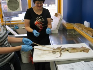 Dissecting an arrow squid