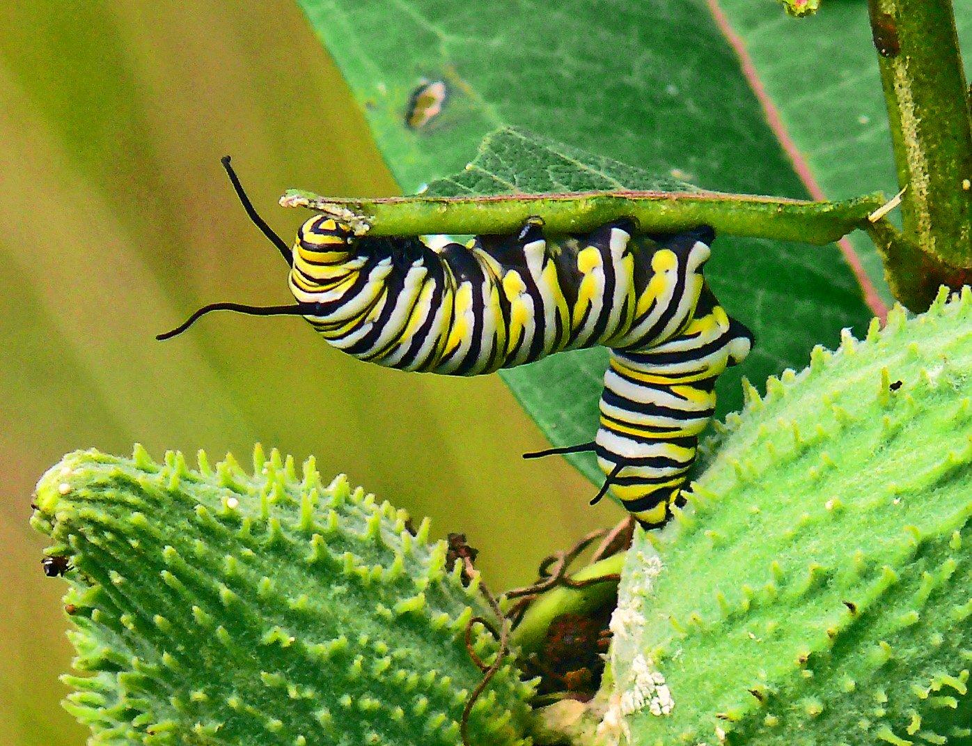 Caterpillar chews on a stem of a leaf