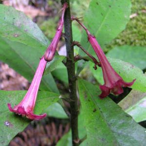 Alseuosmia macrophylla, from near Auckland