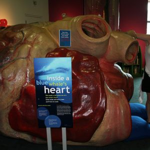 Holiday fun with the blue whale heart model at Te Papa