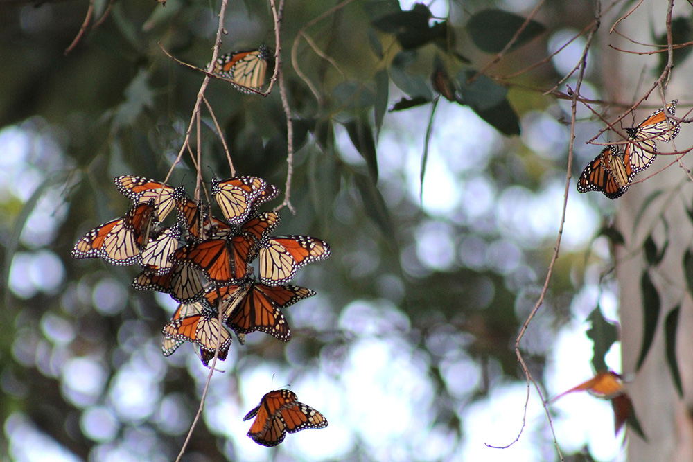 A bivouac of monarch butterflies hanging from a tree