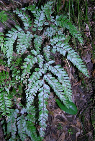 A maidenhair fern, Adiantum fulvum.