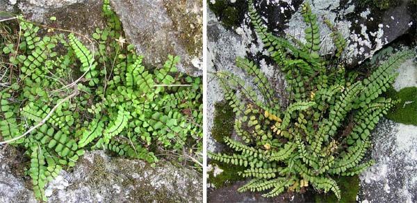 Tetraploid and hexaploid plants of maidenhair spleenwort.