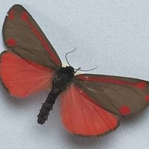 Cinnabar moth from Te Papa's  'Blood Earth Fire' exhibition (©Te Papa).