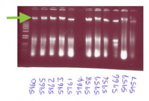 DNA of Pseudopanax on agarose gel after electrophoresis
