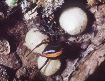 Katipo with 3 egg sacs, 1967, by Richard Sharell. Te Papa.