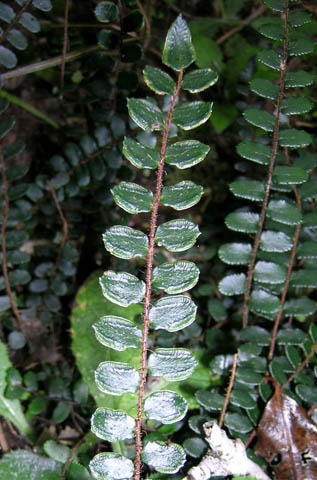 The Button fern, Pellaea rotundifolia.