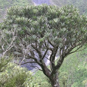 Adult tree of fierce lancewood, Pseudopanax ferox.
