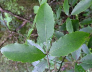Pseudopanax macintyrei.