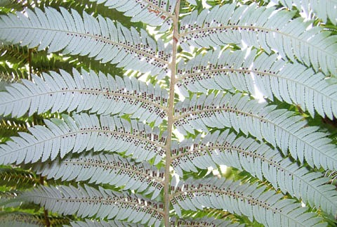 The white underside of a frond of ponga, Cyathea dealbata.