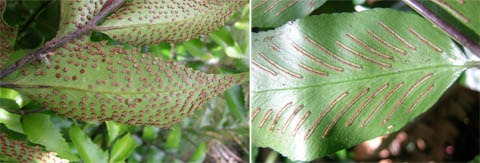 The sori, or reproductive structures, on the underside of fronds of holly fern, Cyrtomium falcatum, on the left and shining spleenwort, Asplenium oblongifolium, on the right.