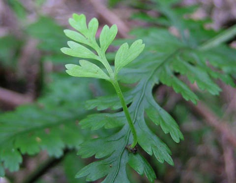 Is your hen and chickens fern a fake? | Te Papa's Blog