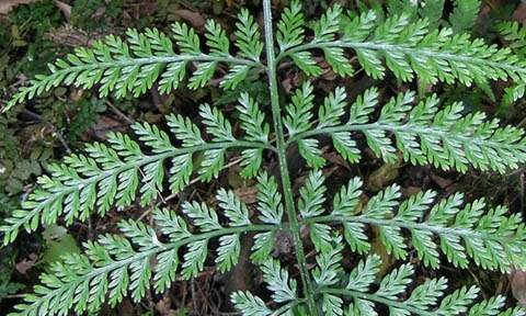 Asplenium gracillimum with narrow frond segments. These resemble the fertile fronds of Asplenium ×lucrosum (see below), but they can be distinguished by all of the fronds having narrow segments, rather than having both broad (when without spore-producing structures) and narrow (when with spore-producing structures) segments. Photo by Leon Perrie. (c) Leon Perrie, Wellington.