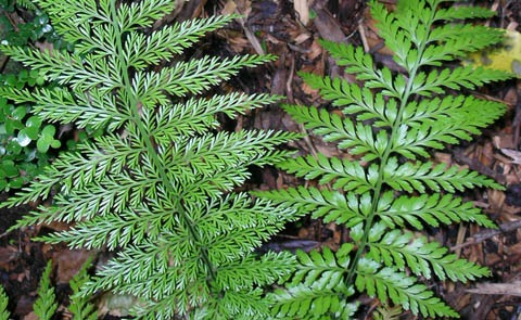 The false hen & chickens fern - Asplenium ×lucrosum - has dimorphic, or two very different looking, fronds on the same individual. The fronds with spore-producing structures have much narrower frond segments than fronds without. This difference in form can even occur within a single frond if it has regions with and without reproductive structures. Asplenium bulbiferum and Asplenium gracillimum do not have dimorphic fronds. Photo by Leon Perrie, Curator. (c) Museum of New Zealand Te Papa Tongarewa.