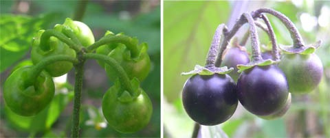 Left, unripe fruit of Solanum americanum; right, ripening fruit of Solanum nigrum.  The calyx of S. americanum is strongly reflexed (the green triangles between each fruit and its stalk point away from the fruit).  Stone cells are also just evident in the S. americanum fruit, as white speckles.