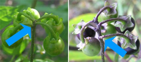As indicated by the blue arrows, the fruit (or flowers) of Solanum americanum (left) branch from nearly the same point, while at least some of those of S. nigrum (right) clearly branch lower.