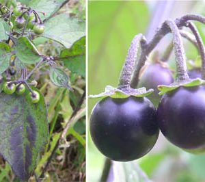 Leaves and ripening fruit of black nightshade, Solanum nigrum.
