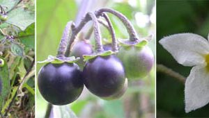 Leaves, ripening fruit, and a flower of black nightshade, Solanum nigrum.