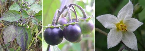 Leaves, ripening fruit, and a flower of black nightshade, Solanum nigrum.
