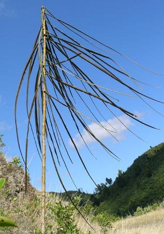 Juvenile lancewood, horoeka, Pseudopanax crassifolius. Photo by Leon Perrie. (c) Leon Perrie, Wellington.