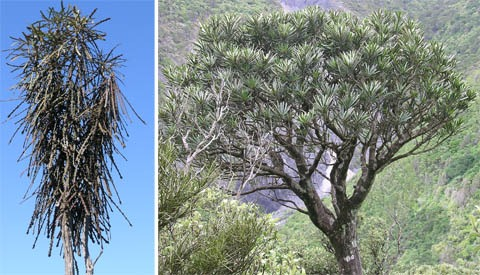 Fierce lancewood, Pseudopanax ferox. Juveniles (left) and adults (right) have very different leaves and habits. Both images by Leon Perrie, Curator. © Museum of New Zealand Te Papa Tongarewa.