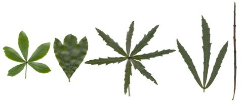 The leaf on the left is of coastal five-finger, that on the right is from a juvenile lancewood, and the three in between are from different hybrid individuals. Photos by Leon Perrie. Montage (c) Museum of New Zealand Te Papa Tongarewa.