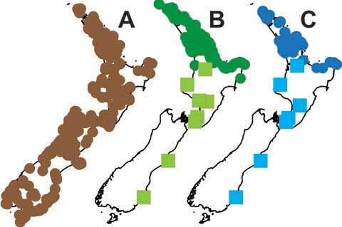 Distribution maps for (A) lancewood, (B) coastal five-finger, and (C) their hybrids. Circles indicate natural distributions, and were compiled using data from the AK (Auckland Museum), CHR (Landcare Research), NZFRI (Scion), and WELT (Te Papa) herbaria. Squares for coastal five-finger and the hybrids indicate their 'weedy' distribution, this being a preliminary assessment based on my observations.