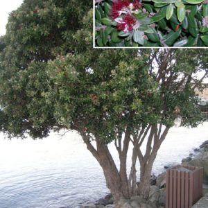 Pohutukawa on Wellington's waterfront, 20 June 2009. It is still in flower, over a month later. Image by Leon Perrie, Curator. © Museum of New Zealand Te Papa Tongarewa.