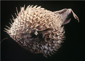 Puffer fish helmet, 1900s, maker unknown. © Te Papa.