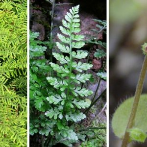 Potential project plants: Gleichinia, Asplenium, and Myosotis.