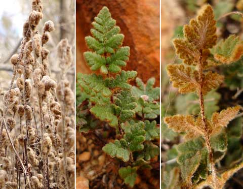 Cheilanthes lasiophylla. From left: dry and curled; resurrected, upperside; underside. Photos by Leon Perrie. (c) Leon Perrie, Wellington.