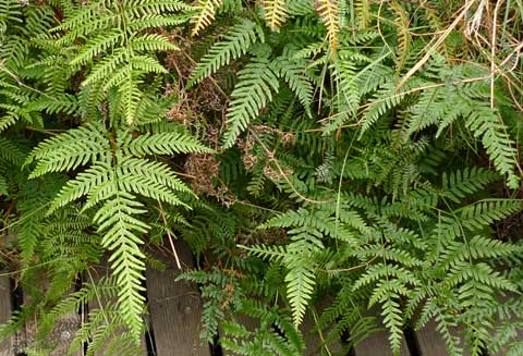Shaking Brake fern, Pteris tremula. Photo by Leon Perrie. (c) Leon Perrie, Wellington.