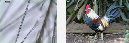 Left: Microscope image of white Galliforme feather. Right: Red jungle fowl (Gallus gallus). Photograph by Michael Walther, reproduced courtesy of Oahu Nature Tours