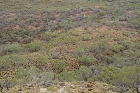 Typical vegetation along the Larapinta Trail. Most of the green trees are gums. The grey trees are wattles. The low-growing clumps are 'spinifex' grasses. Photo by Leon Perrie. (c) Leon Perrie, Wellington.