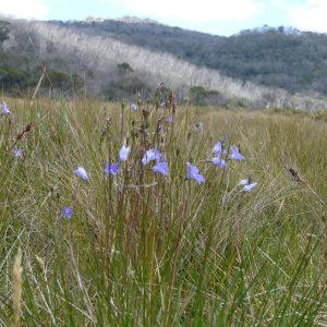 Wahlenbergia ceracea growing in an alpine bog on the slopes of Mt Kosciuszko, New South Wales, Australia.