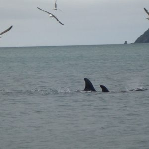 Jochen Flöthe's photos of the Killer whales or Orca in Wellington Harbour