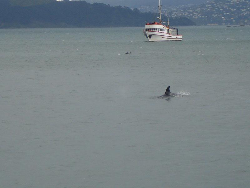 Jochen Flöthe's photos of the Killer whales or Orca in Wellington Harbour