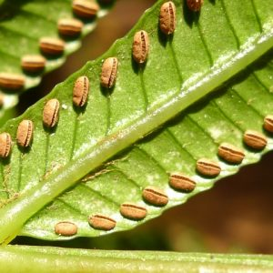 Reproductive structures of king fern, on undersides of fronds. Photo by Leon Perrie. © Leon Perrie.