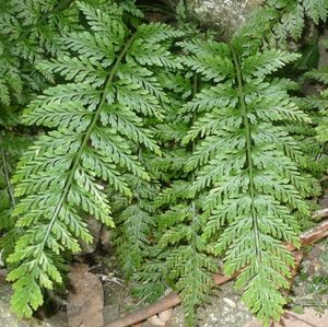 Asplenium gracillimum (a hen & chickens fern), Alpine National Park, Victoria. Photo by Leon Perrie, Curator. © Museum of New Zealand.
