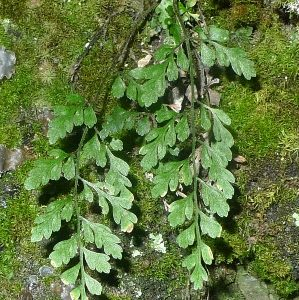 Asplenium hookerianum (Hooker's spleenwort), Alpine National Park, Victoria.  Photo by Leon Perrie, Curator. © Museum of New Zealand.