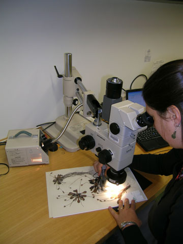 Heidi observing a Te Papa herbarium specimen of Plantago spathulata with a dissecting microscope. Photo © Museum of New Zealand Te Papa Tongarewa.