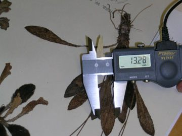 Measuring leaf width (in mm) of a Te Papa specimen of Plantago spathulata with a digital calipers. Photo © Museum of New Zealand Te Papa Tongarewa.